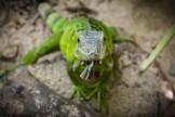 Iguane de Saint Martin